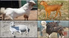 Goat-breeds-information-in-hindi